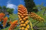 hawaii-native-fruit